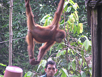 Sepilok Orang Utan Rehabilitation Center auf Borneo
